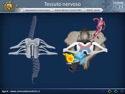 Raggi X delle articolazioni dellanca che mostra