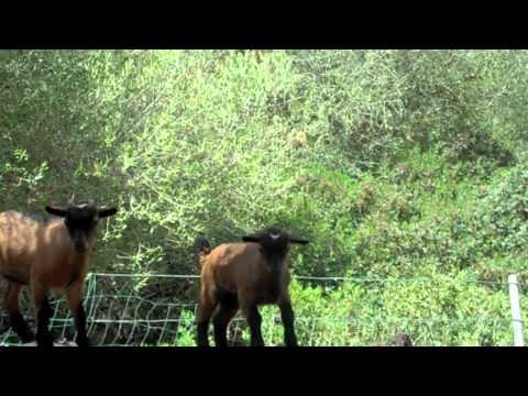 Niedliche Mini Ziegen auf der Finca Toni