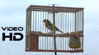 Jilguero Cantando Reclamo Silvestre Puro 1