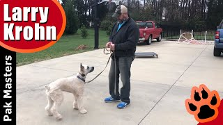 How I start using an e-collar / remote collar lesson with young Bouvier