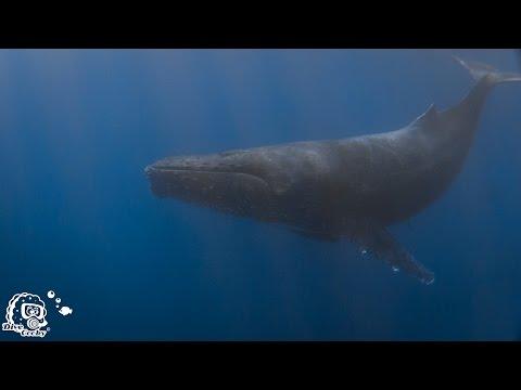 Diving Revillagigero Socorro - Part III , Socorro Islands,Mexiko