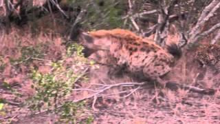 Leopard vs Hyena