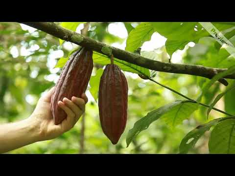 Video Cacao Crudo
