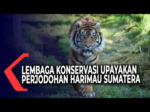 cegah kepunahan lembaga konservasi lakukan pengembangbiakan harimau sumatera