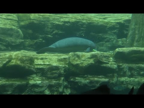 Injured manatee released back into the wild