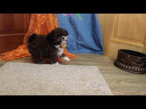 Sadie Adorable Little ShihPoo Girl! Est. 5 to 6 lbs. mature