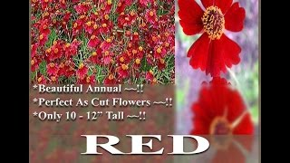 Semi Dwarf Red - Coreopsis tinctoria - Plains Coreopsis  FLOWER SEEDS on  www.MySeeds.Co