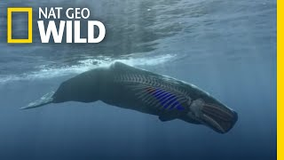 How to Dive Like a Sperm Whale | Whales of the Deep