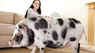 The Truth About Micro Pigs: Full Grown Micro Pigs