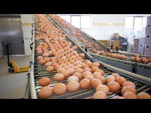 Unkown Facts Of Egg Industry That Will Shock You| Hindi-Urdu | iArslan | iArslan