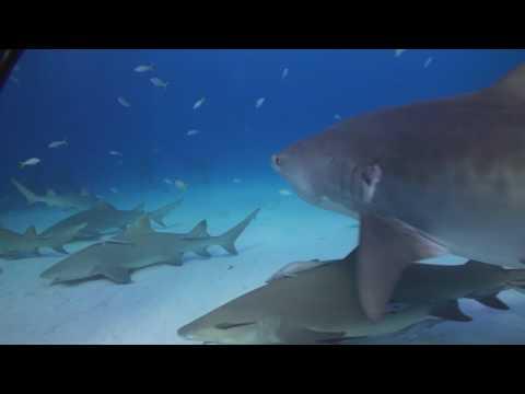 Tauchvideo Tiger Beach, Tiger Beach,Bahamas