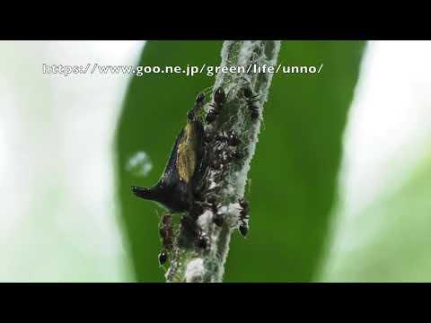 卵を守るサファイアツノゼミ?  Centrotypus sp.