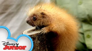 Baby Porcupines | Disney Animals Special Delivery with T.O.T.S. | Disney Junior