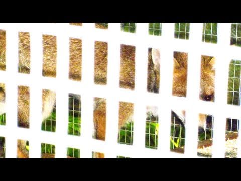 Fieldsports Britain – Animal charity releases foxes next to chicken run