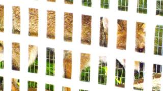 Fieldsports Britain – Animal charity releases foxes next to chicken run, episode 85