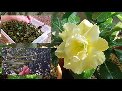 Сеянцы Адениума. Полив после пересадки. Семена Олеандра. И цветы )