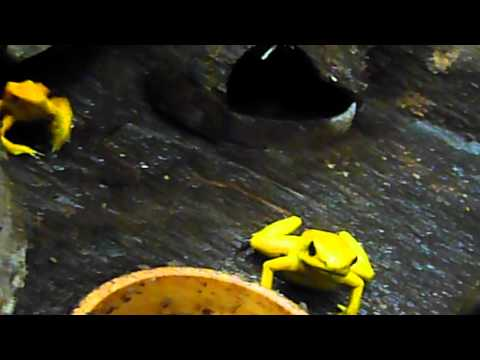 Golden poison dart frog feeding