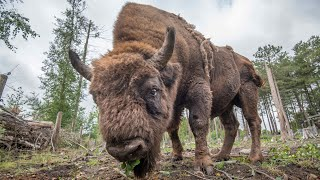 video: Wild bison to be reintroduced after 15,000 years as part of 'groundbreaking' rewilding conservation scheme