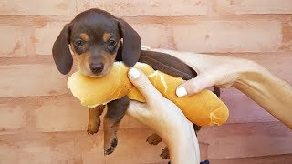 33 Cute And Funny Dachshund Videos Instagram | Adorable Sausage Dogs Try Not To Laugh Compilation