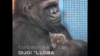 El mensaje de Koko