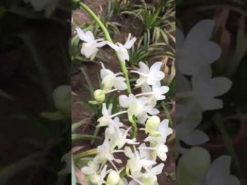 Phong lan bạch nhạn