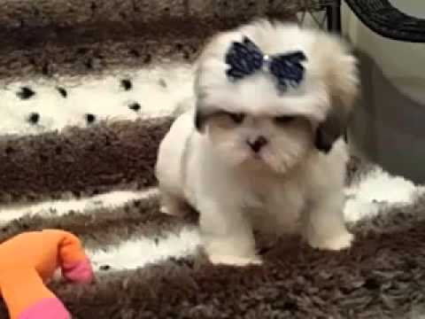 Adorable Male Lhasa Apso Pup - Great markings!