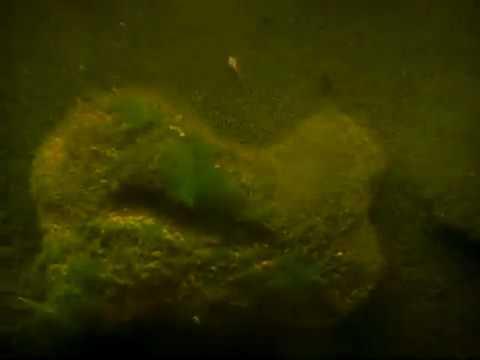 Trojtschatka der Bestand von den Parasiten der Bestand