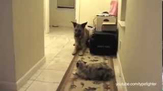 Смотреть онлайн Подборка: Собаки бояться пройти через кота