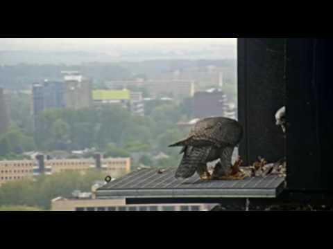 14.05.17 (Männchen besucht Nest  (AM))