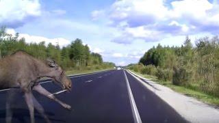 Жесть! Лось выскочил на дорогу - авария
