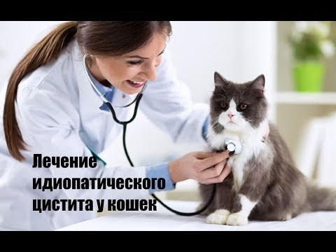 Лечение идиопатического цистита у кошек