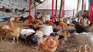 2 months old golden misri hens - Most Popular Videos