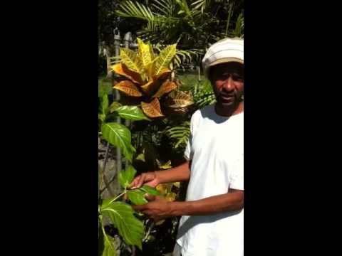 Video NONI PLANT MEDICINAL USES