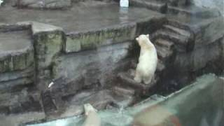 preview picture of video 'Polar Bear Cubs Playing - Vienna Zoo'