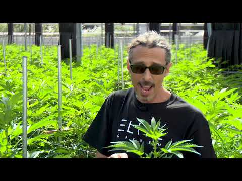, title : 'Cannabis Trimming, Training & Pruning: Kyle Kushman / Green Flower Cannabis Cultivation Course