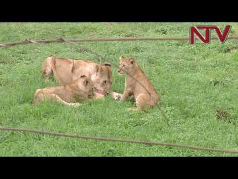 11 Lions poisoned in Queen Elizabeth National park