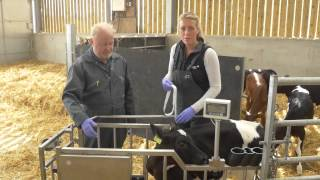 Using A Calf Weighband - Feed For Growth