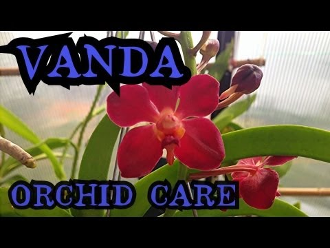 """, title : 'Vanda Orchid Care: Info on watering and root health   """"How to care for Orchids"""""""