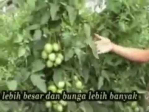 Video CARA BUDIDAYA TOMAT