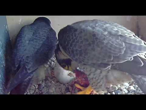 De kuikens worden gevoerd - 27 april 2017