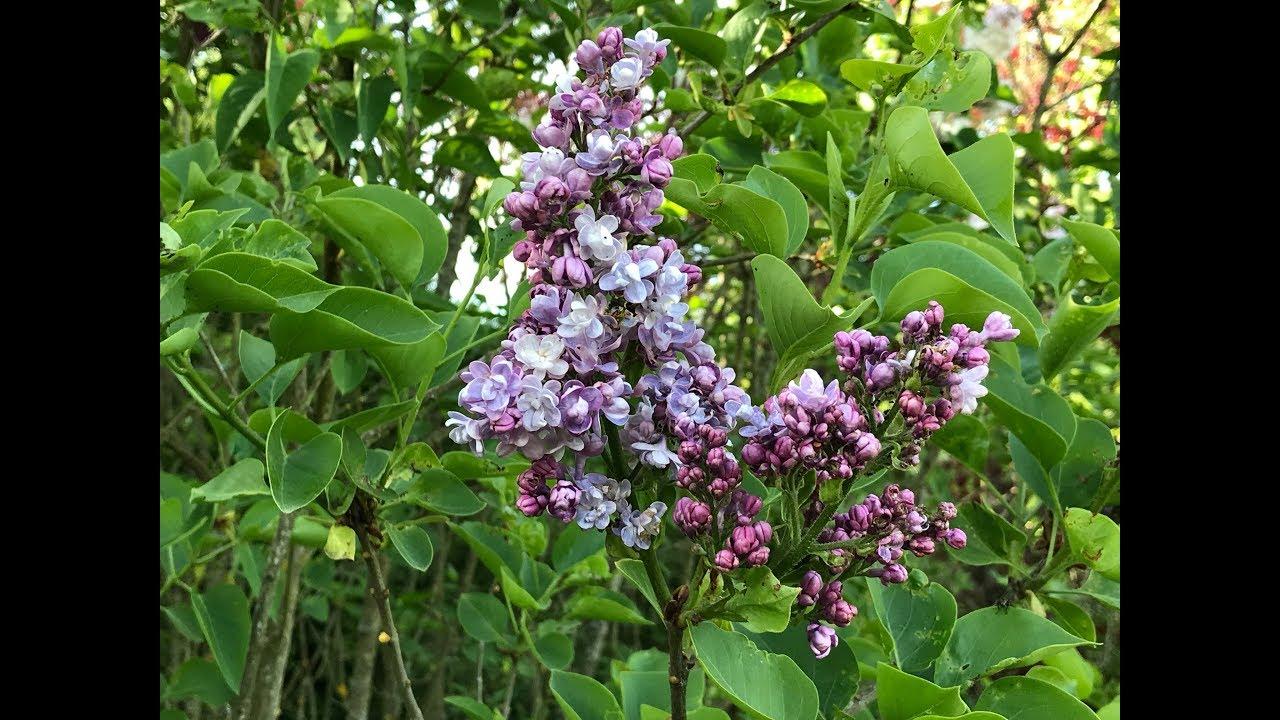 Lilas Commun 'Syringa vulgaris Katherine Havemeyer' La fragrance douce et légère