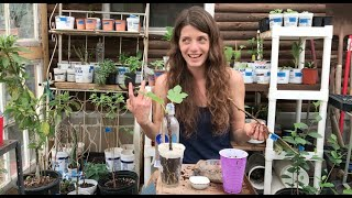 Greenhouse Notes: Rooting Fruit Tree Cuttings