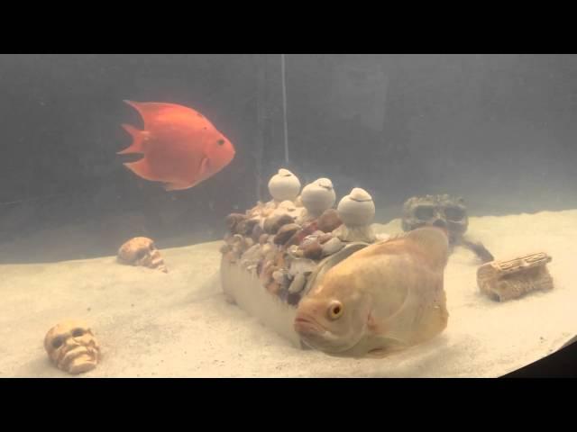 Peixes Oscar e Papagaio e uma Coridora no meio dos carnívoros.