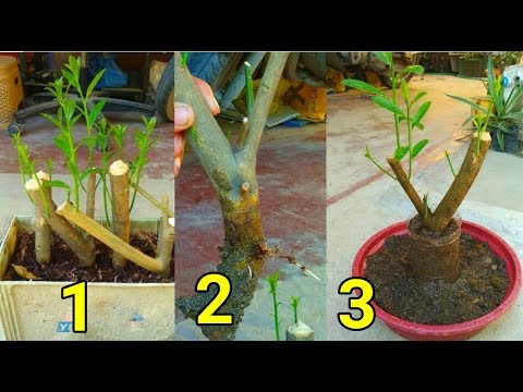 How to make lemon tree from cutting to bonsai..