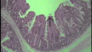 Histology of Glandular Epithelium