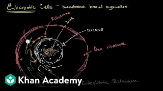 Organelles in eukaryotic cells | Cells | High school biology | Khan Academy