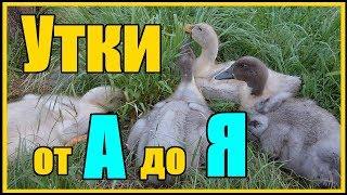 Выращивание уток от А до Я / Утки Голубой фаворит 60 дней вес 3.6 кг
