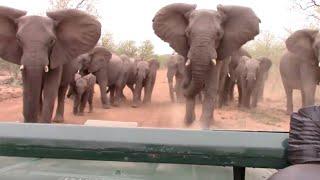 Elephant Charges At Safari Van