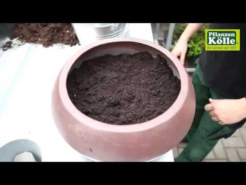 Dauerhafte Bepflanzung im Blumenkübel | Pflanzen-Kölle