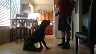 Dog training 1 Year old Rottweiler